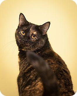 Domestic Shorthair Cat for adoption in Circleville, Ohio - Tulip