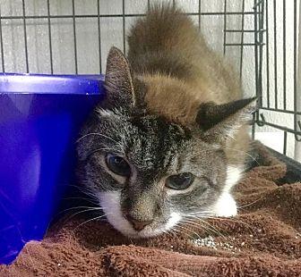 Domestic Shorthair Cat for adoption in Webster, Massachusetts - Brady