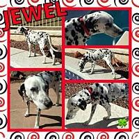 Dalmatian Dog for adoption in Scottsdale, Arizona - Jewel