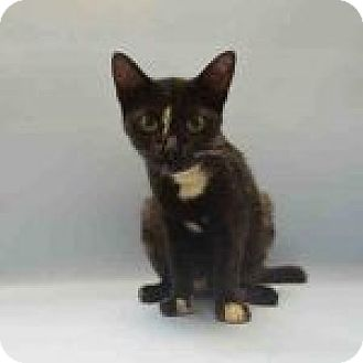Domestic Shorthair Cat for adoption in Newtown, Connecticut - Belle