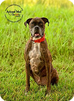 Boxer Mix Dog for adoption in Friendswood, Texas - Creed