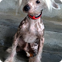 Adopt A Pet :: Kizzie-Adoption pending - Bridgeton, MO