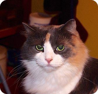 Domestic Mediumhair Cat for adoption in Covington, Kentucky - Xuxa
