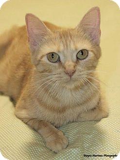 Domestic Shorthair Cat for adoption in Marietta, Georgia - Prairie Dawn