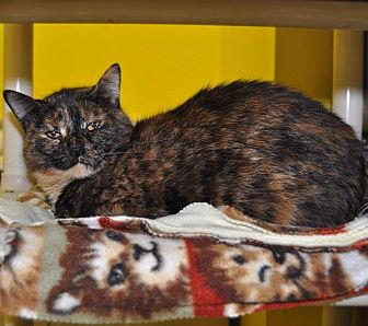 Domestic Shorthair Cat for adoption in Sunrise Beach, Missouri - Peachy