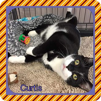 Domestic Shorthair Kitten for adoption in Atco, New Jersey - Curtis