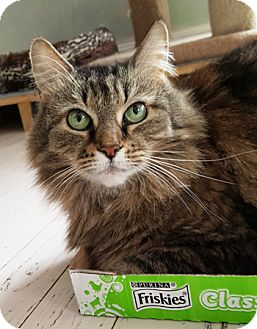 Maine Coon Cat for adoption in Lutherville, Maryland - Molly