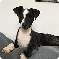 Adopt A Pet :: Jax (Jack) - Centreville, VA