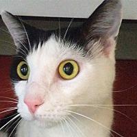 Adopt A Pet :: Tomasso - Sarasota, FL