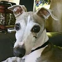 Adopt A Pet :: Willem in DFW area - Argyle, TX
