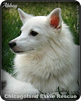 American Eskimo Dog Dog for adoption in Elmhurst, Illinois - Abbey