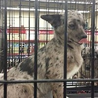 Terrier (Unknown Type, Medium) Dog for adoption in Fresno, California - Deer