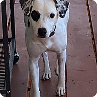 Adopt A Pet :: Ivy In Austin - San Antonio, TX