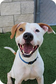 American Staffordshire Terrier Mix Dog for adoption in Palm Bay, Florida - Guacamole