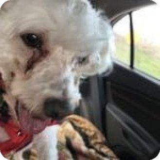 Maltese/Bichon Frise Mix Dog for adoption in Homer, New York - Buddy
