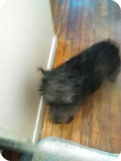 Schnauzer (Miniature) Dog for adoption in Spencer County, Indiana - Angel