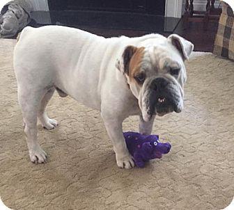 English Bulldog Dog for adoption in Ashland, Virginia - Buster