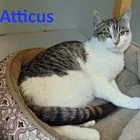 Adopt A Pet :: Atticus - Mountain View, AR