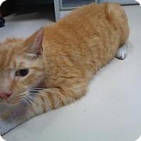 Adopt A Pet :: Mango - St Augustine, FL