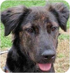 Australian Shepherd/Border Collie Mix Dog for adoption in Houston, Texas - CHARLIE