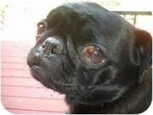 Pug Dog for adoption in Eagle, Idaho - Hanna
