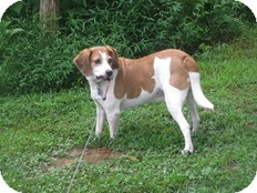 Hound (Unknown Type) Mix Dog for adoption in Wilmington, Massachusetts - Malcolm