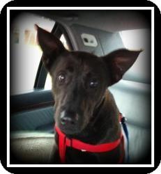 Shepherd (Unknown Type)/Labrador Retriever Mix Dog for adoption in Indian Trail, North Carolina - Charley