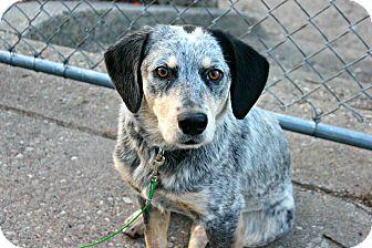Blue Heeler/Border Collie Mix Dog for adoption in Grand Rapids, Michigan - Sasha