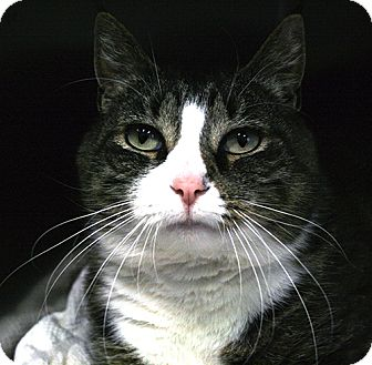 Domestic Shorthair Cat for adoption in Manahawkin, New Jersey - Misty