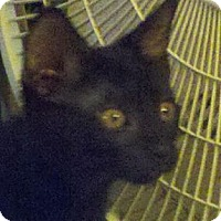 Domestic Shorthair Cat for adoption in Cincinnati, Ohio - Stucki