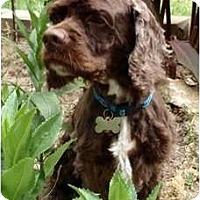 Adopt A Pet :: Scout - Sugarland, TX