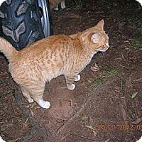 Domestic Shorthair Cat for adoption in Union, South Carolina - O.J.