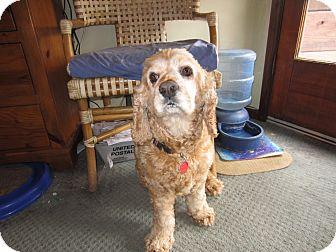 Cocker Spaniel Dog for adoption in Santa Barbara, California - Brownie