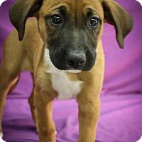 Adopt A Pet :: Dizzy Miss Lizzy - Broomfield, CO