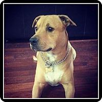 Adopt A Pet :: Sam - Indian Trail, NC