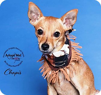 Chihuahua/Basenji Mix Dog for adoption in Houston, Texas - Chapis