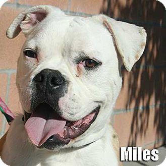 Boxer Dog for adoption in Encino, California - Miles