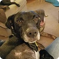 Labrador Retriever/Hound (Unknown Type) Mix Dog for adoption in Chicago, Illinois - Tappy (Lola)