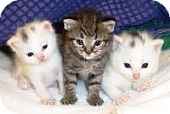 Domestic Shorthair Kitten for adoption in Sparta, New Jersey - CAT/KITTEN FOSTERS NEEDED!
