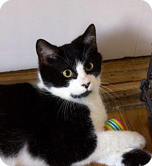 Domestic Shorthair Cat for adoption in Richmond, Virginia - Kuro