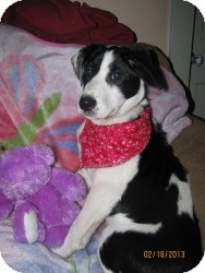 Border Collie Mix Puppy for adoption in Marlton, New Jersey - Lucy