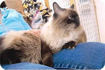 Ragdoll Cat for adoption in Davis, California - Catalina