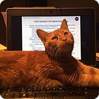 Adopt A Pet :: Cinnamon (Unique Orange Female - Arlington, VA