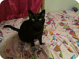 Domestic Mediumhair Cat for adoption in sanford, North Carolina - Midnight