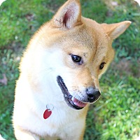 Adopt A Pet :: Akio - Manassas, VA