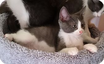 Domestic Mediumhair Kitten for adoption in Phoenix, Arizona - Earl