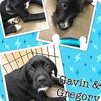 Adopt A Pet :: Gregory - ST LOUIS, MO