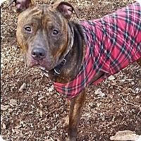 Pit Bull Terrier Mix Dog for adoption in Charlottesville, Virginia - Burly