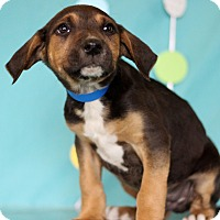 Adopt A Pet :: Brown - Waldorf, MD