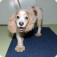 Adopt A Pet :: Lady Sarah - New York, NY